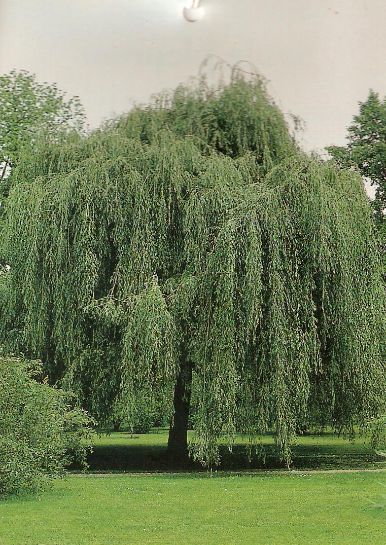 arbres d 39 ornement et grands coniferes. Black Bedroom Furniture Sets. Home Design Ideas